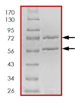 SDS-PAGE - CDK3 + CCNE1 protein (Active) (ab85643)