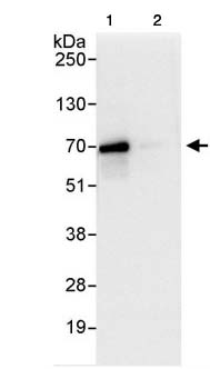 Immunoprecipitation - C19orf61 antibody (ab85659)