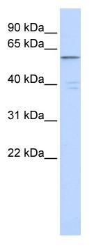Western blot - ZNF141 antibody (ab85662)