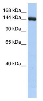 Western blot - UGCGL2 antibody (ab85664)