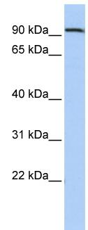 Western blot - AHRR antibody (ab85666)