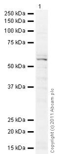 Western blot - Anti-pan-AKT antibody (ab85683)