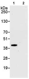 Immunoprecipitation - NRBF2 antibody (ab85733)