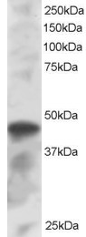 Western blot - IRF8 antibody (ab85734)