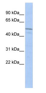 Western blot - ZIM3 antibody (ab85746)