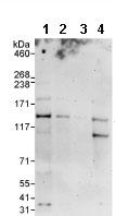 Western blot - DHX30 antibody (ab85754)