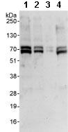 Western blot - ZNF276 antibody (ab85761)