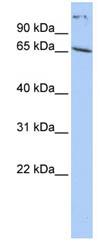 Western blot - PABP antibody (ab85770)