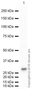 Western blot - Leu Enkephalin antibody (ab85798)
