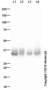 Western blot - Adiponectin antibody (ab85827)