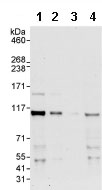 Western blot - ORC1 antibody (ab85830)