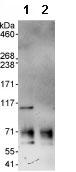 Immunoprecipitation - ORC1 antibody (ab85830)