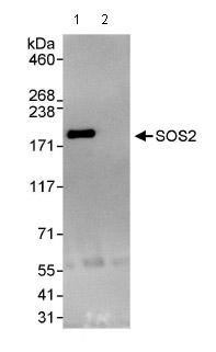Immunoprecipitation - SOS2 antibody (ab85831)