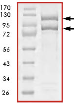 SDS-PAGE - Pik3ca + PIK3R1 protein (Active) (ab85833)