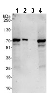 Western blot - CCNK antibody (ab85854)