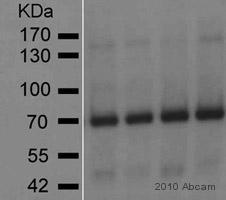 Western blot - GAD65 antibody [144] (ab85866)