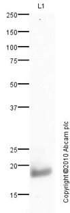 Western blot - Histone H3 antibody (ab85869)