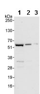 Western blot - NUP50 antibody (ab85915)