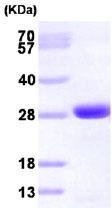 SDS-PAGE - GRB2 protein (His tag) (ab85917)