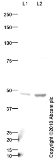 Western blot - VGLUT1 antibody (ab85922)
