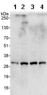 Western blot - Cyclin C antibody (ab85927)