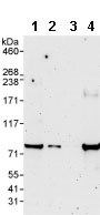 Western blot - SASS6 antibody (ab85993)