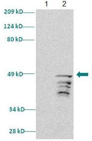 Western blot - Dlx2 antibody (ab85995)