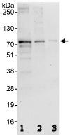 Western blot - ESCO2 antibody (ab86003)