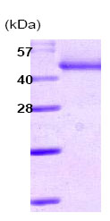 SDS-PAGE - SERPINA12 protein (His tag) (ab86032)