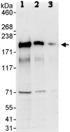 Western blot - GAPex 5 antibody (ab86033)