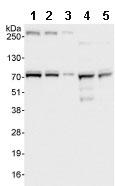 Western blot - CLINT1 antibody (ab86046)