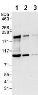 Western blot - RAD54L2 antibody (ab86063)