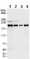 Western blot - IQGAP1 antibody (ab86064)