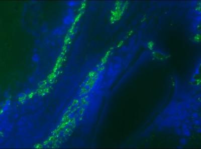 Immunohistochemistry (Frozen sections) - Anti-Desmin antibody (ab86083)