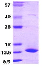 SDS-PAGE - BLBP protein (Human) (ab86096)
