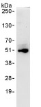 Immunoprecipitation - EIF2S2 antibody (ab86105)
