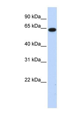 Western blot - C1orf2 antibody (ab86106)