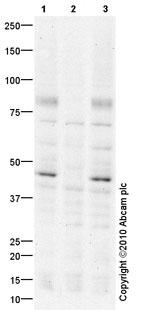 Western blot - Tau antibody (ab86115)