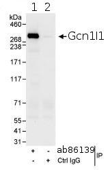 Immunoprecipitation - Gcn1l1 antibody (ab86139)