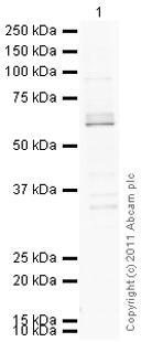 Western blot - CLK2 antibody (ab86147)