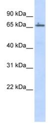Western blot - ZNF503 antibody (ab86157)