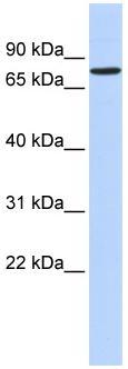 Western blot - RFX2 antibody (ab86170)