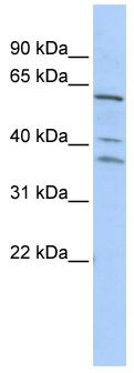 Western blot - AGFG1 antibody (ab86174)