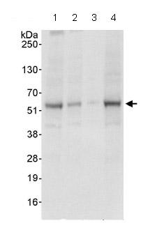Western blot - NFYC antibody (ab86237)