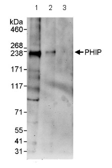 Western blot - PHIP antibody (ab86244)
