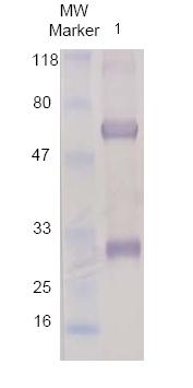Western blot - IgG antibody (ab86245)
