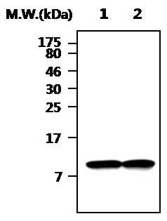 Western blot - Thioredoxin / TRX antibody (ab86255)