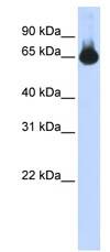 Western blot - FOXG1 antibody (ab86292)