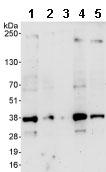 Western blot - U2AF35 antibody (ab86305)