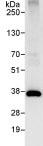Immunoprecipitation - U2AF35 antibody (ab86305)